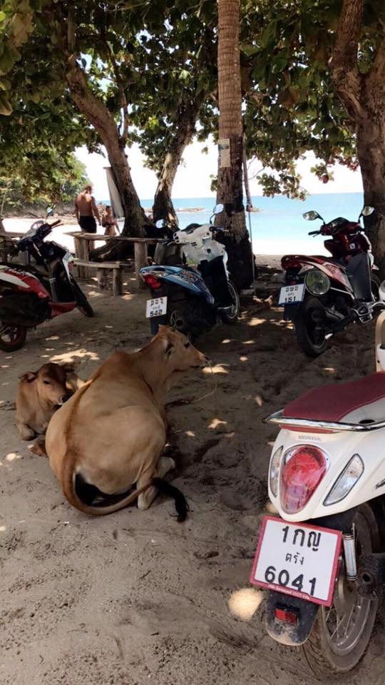 Cows_Red_Road_Beach